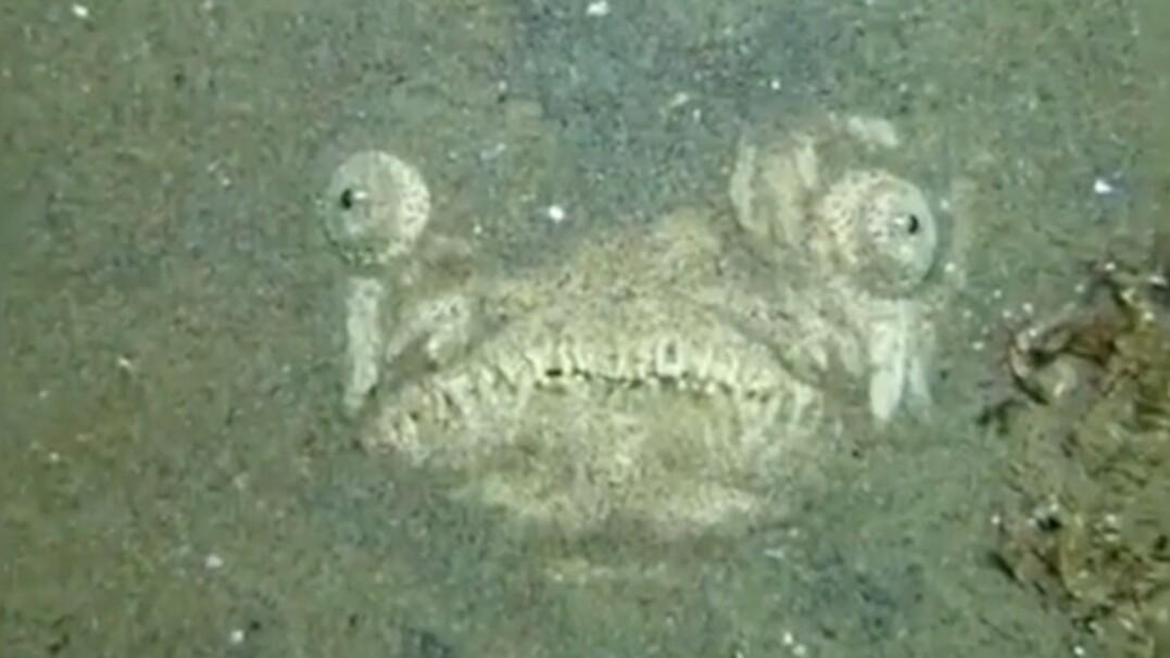 Przerażająca ryba zakopana w piasku. Tak poluje