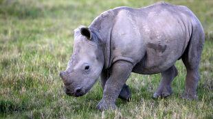 """Samicę zabili kłusownicy, mały nosorożec jej bronił. """"Ciągle woła swoją matkę"""""""